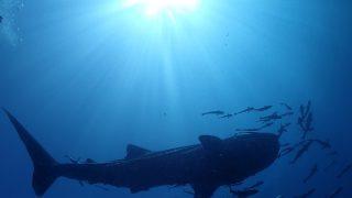 タオ島 ジンベイザメ狙い ダイビング